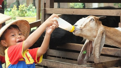 biMBA AIUEO Bekasi/Memberi Susu pada Kambing