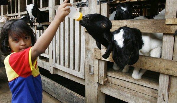 Memberi Susu ke Anak Kambing